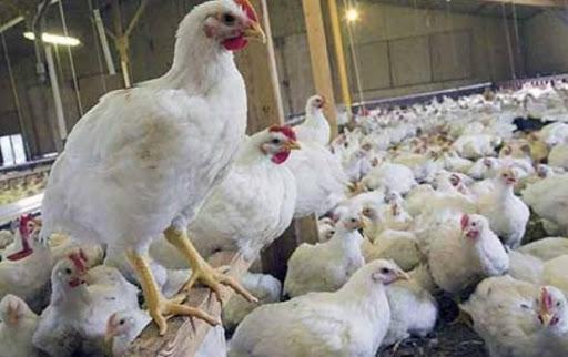 طهماسبی: مرغ سایز سالم تر است و صرفه اقتصادی بیشتری برای تولیدکننده دارد خبرنگاران