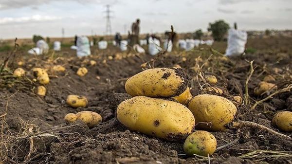 پیش بینی برداشت 250 هزار تن سیب زمینی در اقلید